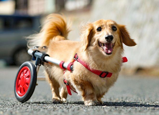 Японд нохойд зориулсан тэргэнцэр бүтээжээ
